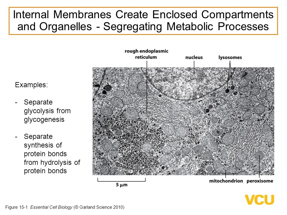 Internal Membranes Create Enclosed Compartments and Organelles - Segregating Metabolic Processes