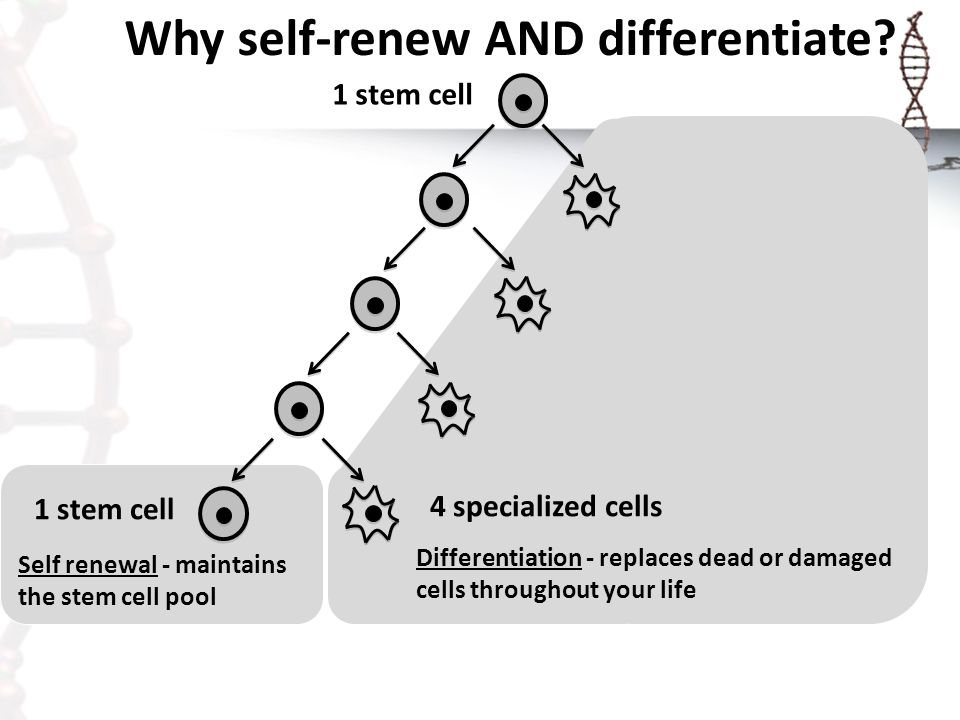 Why self-renew AND differentiate