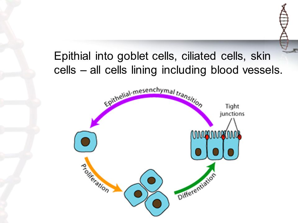 Epithial into goblet cells, ciliated cells, skin cells – all cells lining including blood vessels.