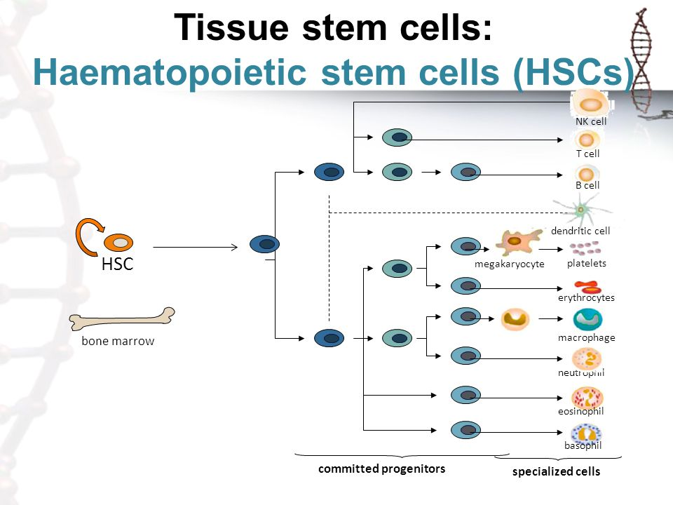 Haematopoietic stem cells (HSCs)