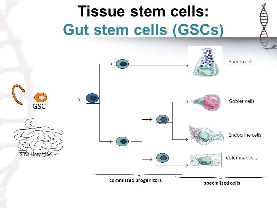 Tissue stem cells: Gut stem cells (GSCs)