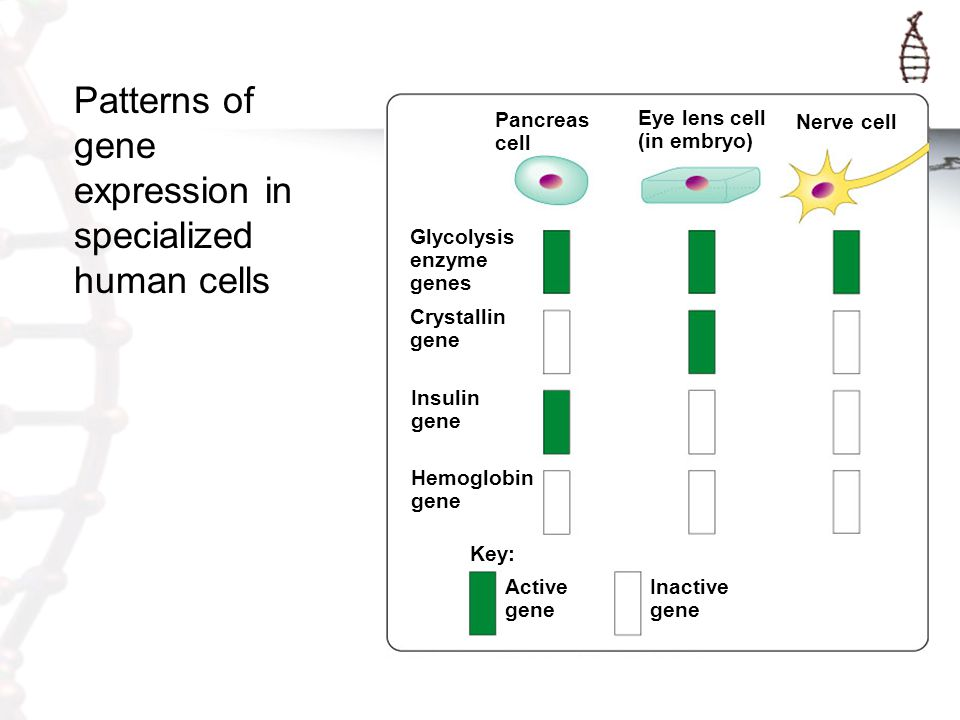 Patterns of gene expression in specialized human cells