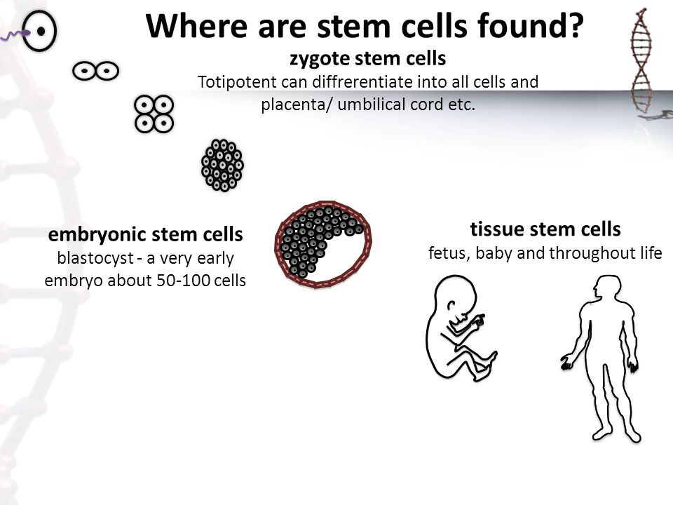 Where are stem cells found
