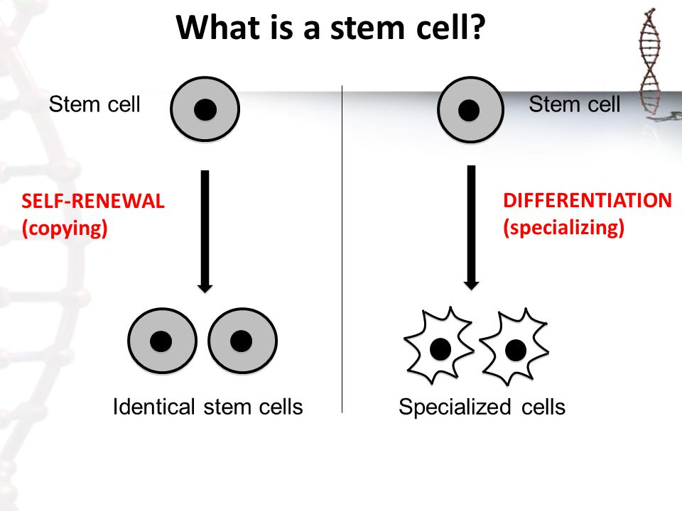 What is a stem cell Identical stem cells Stem cell SELF-RENEWAL