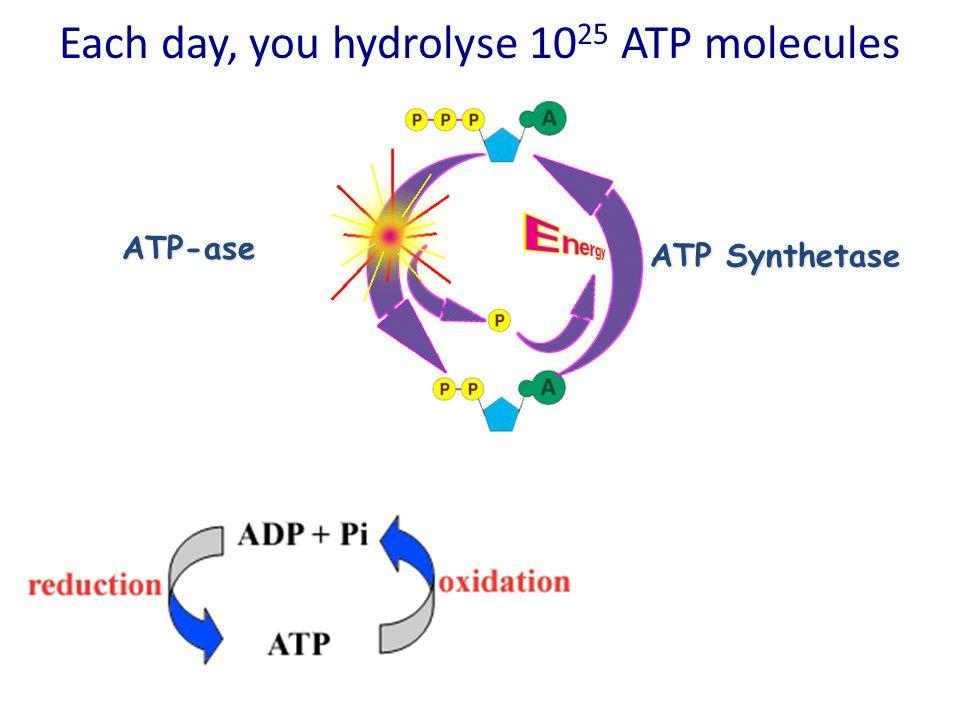 Each day, you hydrolyse 1025 ATP molecules