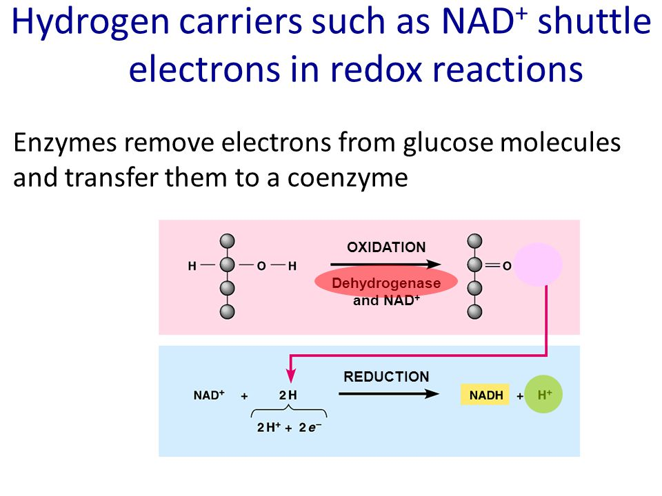 Hydrogen carriers such as NAD+ shuttle electrons in redox reactions