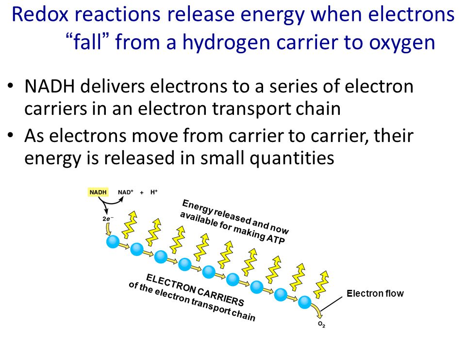 Redox reactions release energy when electrons fall from a hydrogen carrier to oxygen