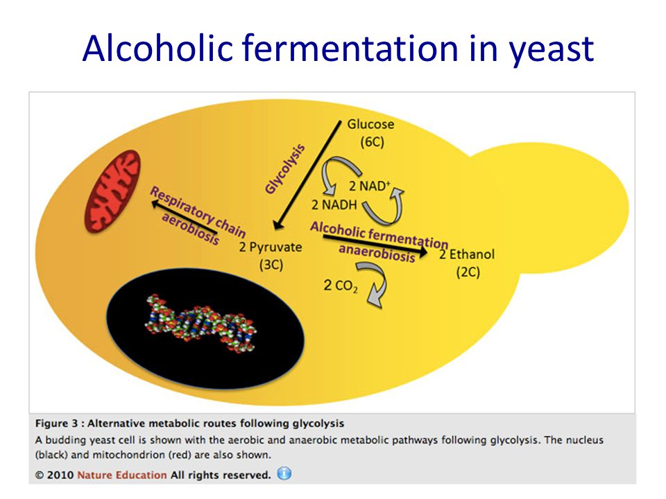 Alcoholic fermentation in yeast