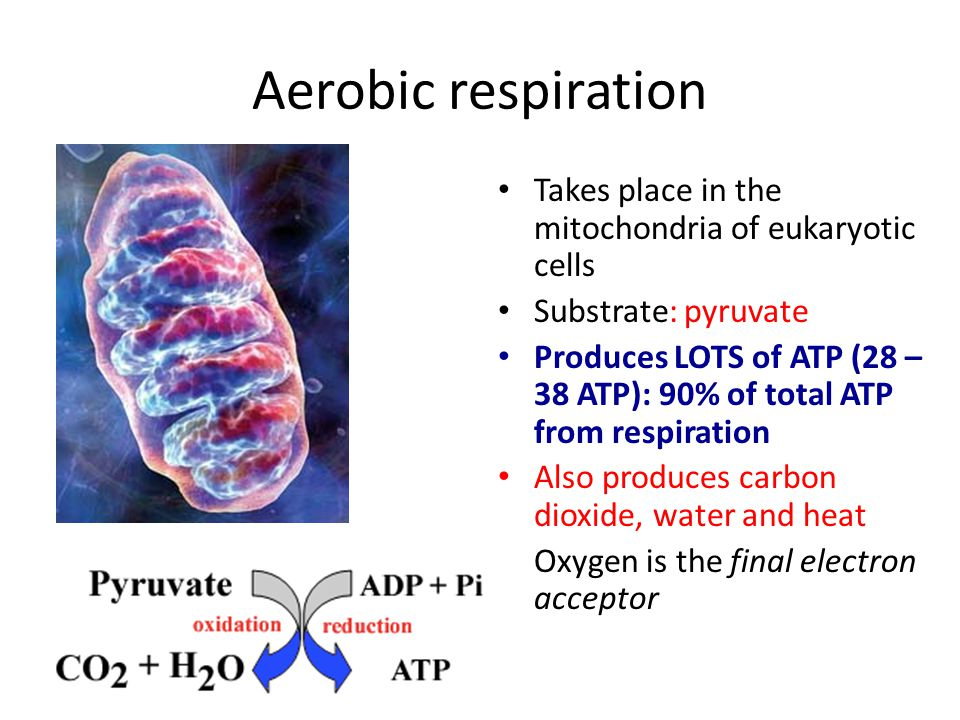 Aerobic respiration Takes place in the mitochondria of eukaryotic cells. Substrate: pyruvate.