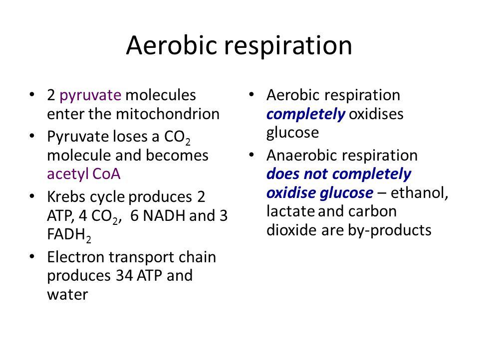 Aerobic respiration 2 pyruvate molecules enter the mitochondrion