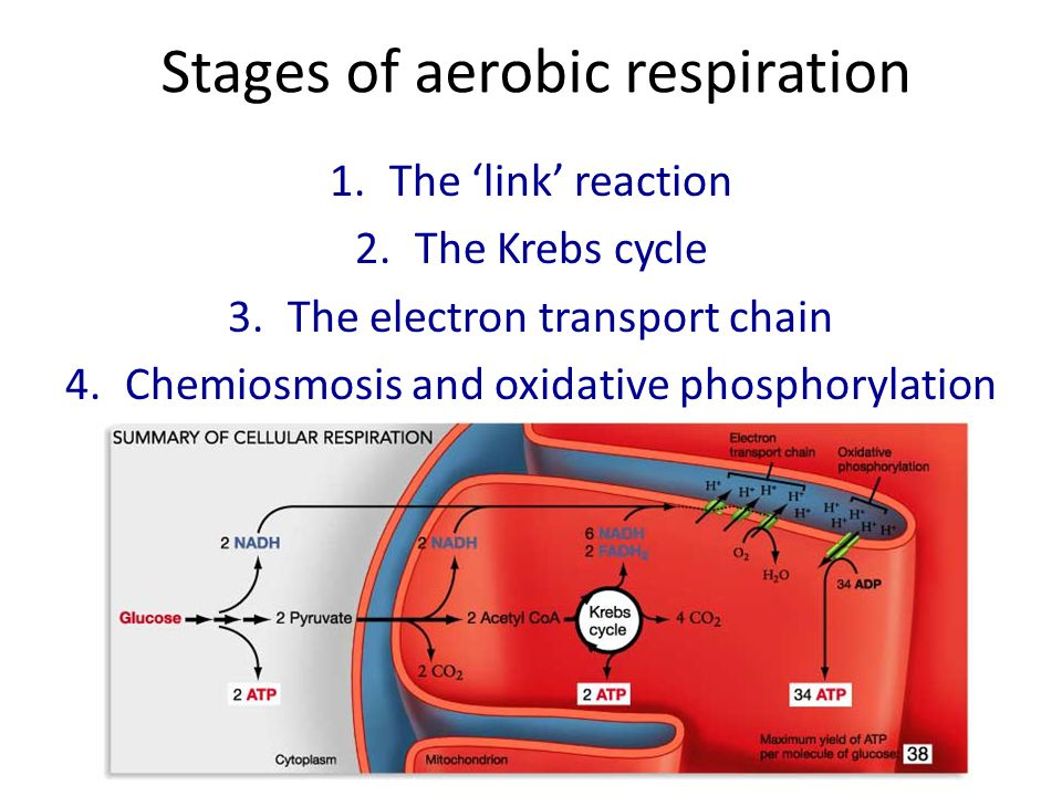 Stages of aerobic respiration