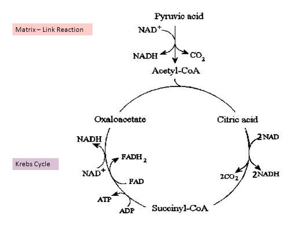 Matrix – Link Reaction 2 Krebs Cycle 2