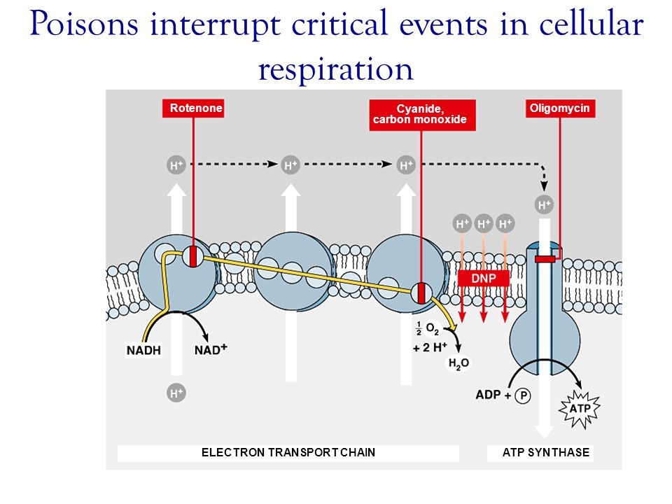 Poisons interrupt critical events in cellular respiration