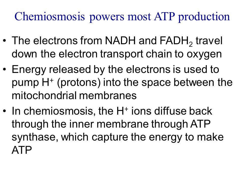 Chemiosmosis powers most ATP production
