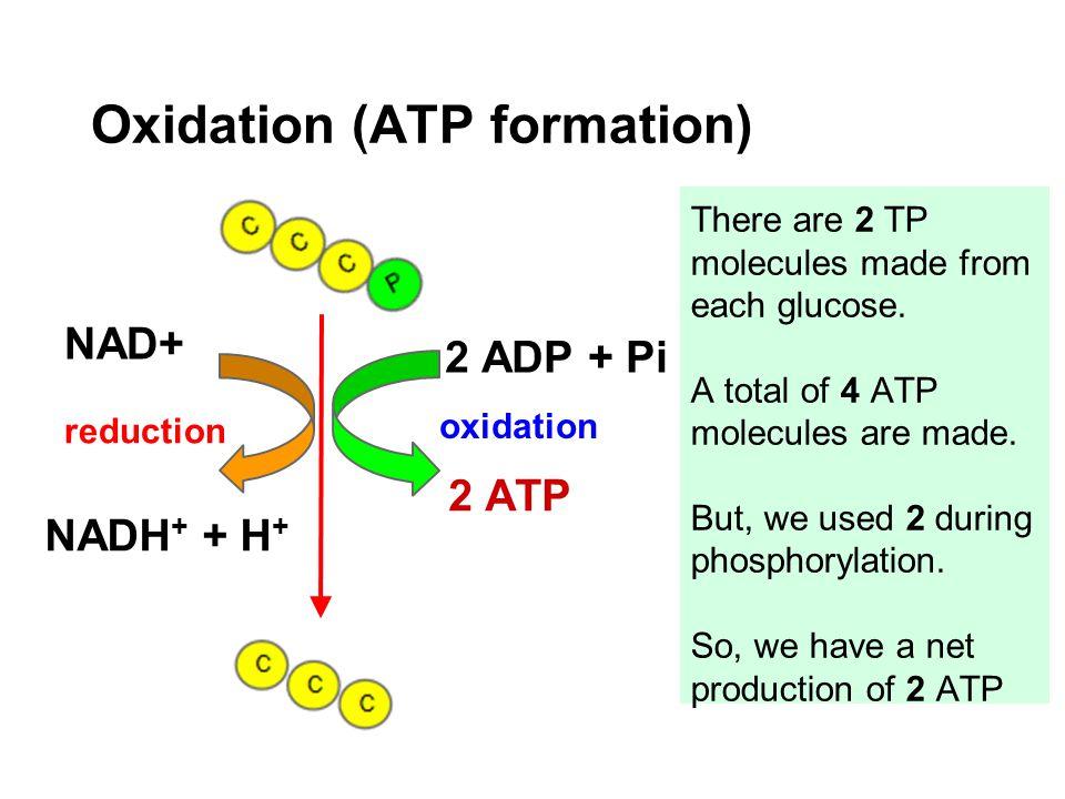 Oxidation (ATP formation)
