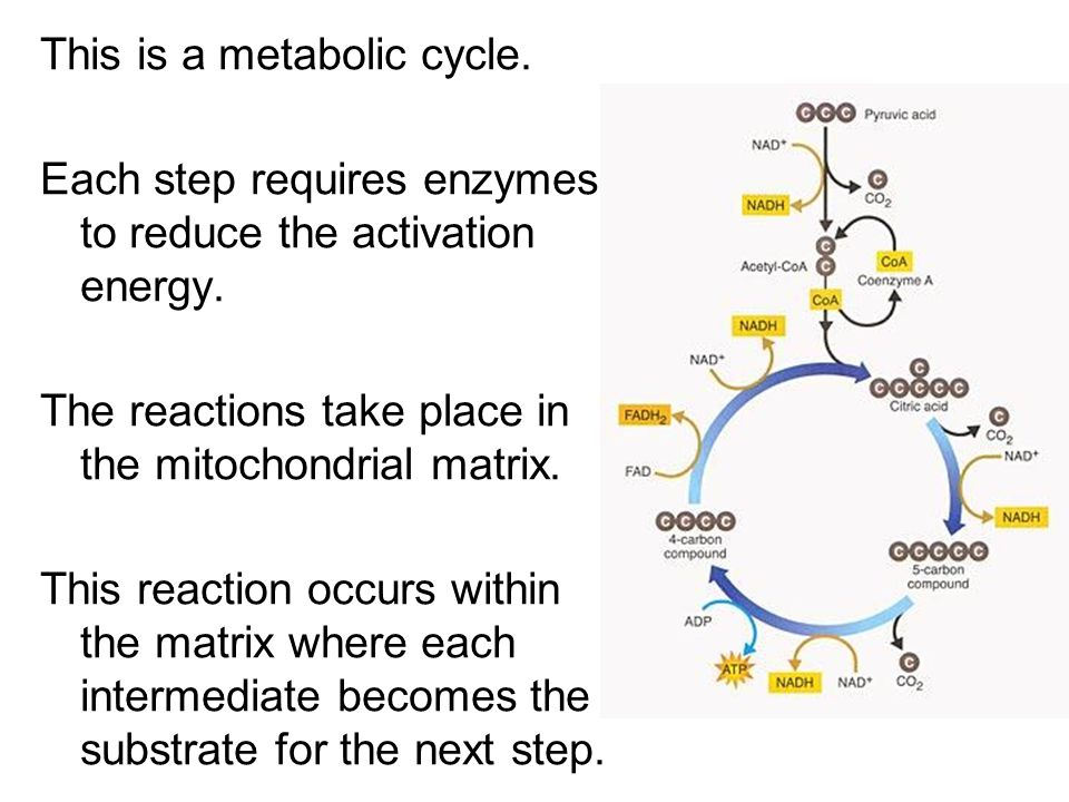 This is a metabolic cycle.
