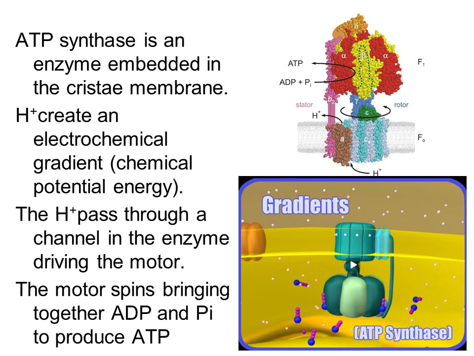 ATP synthase is an enzyme embedded in the cristae membrane.