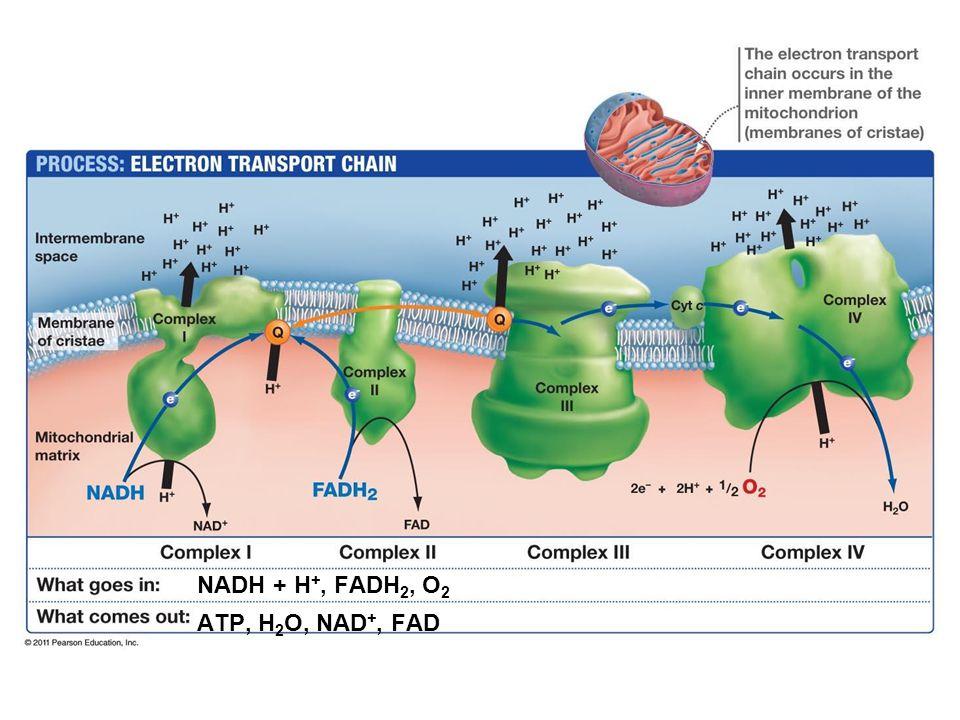 NADH + H+, FADH2, O2 ATP, H2O, NAD+, FAD