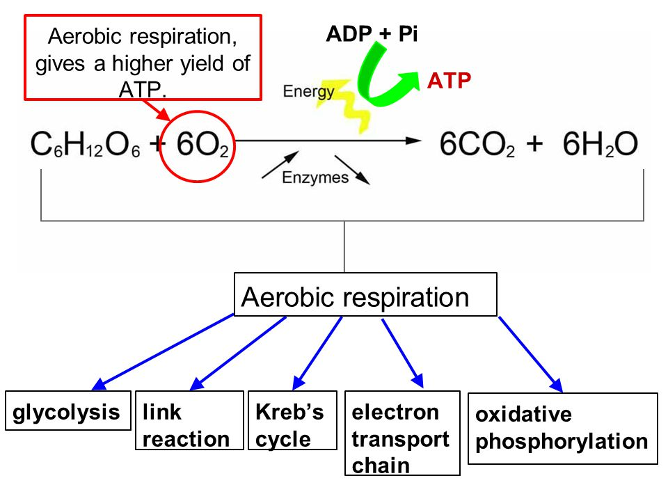Aerobic respiration, gives a higher yield of ATP.