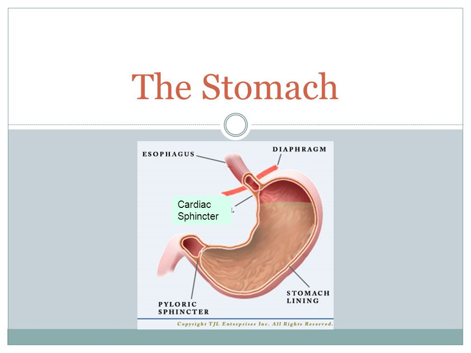 The Stomach Cardiac Sphincter