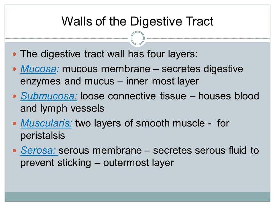 Walls of the Digestive Tract