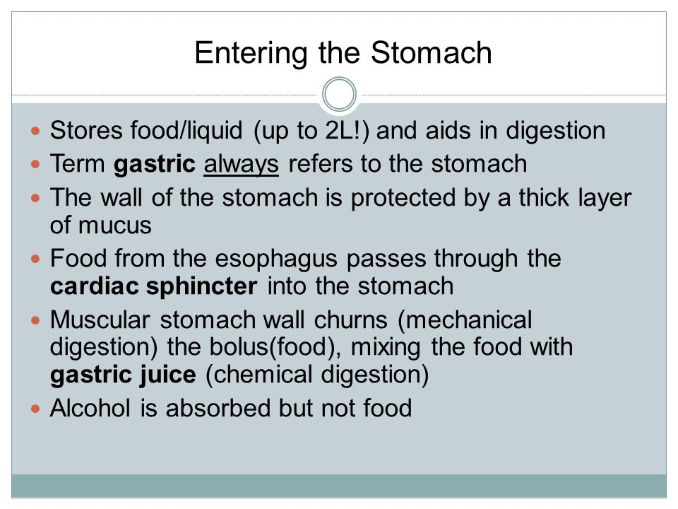 Entering the Stomach Stores food/liquid (up to 2L!) and aids in digestion. Term gastric always refers to the stomach.