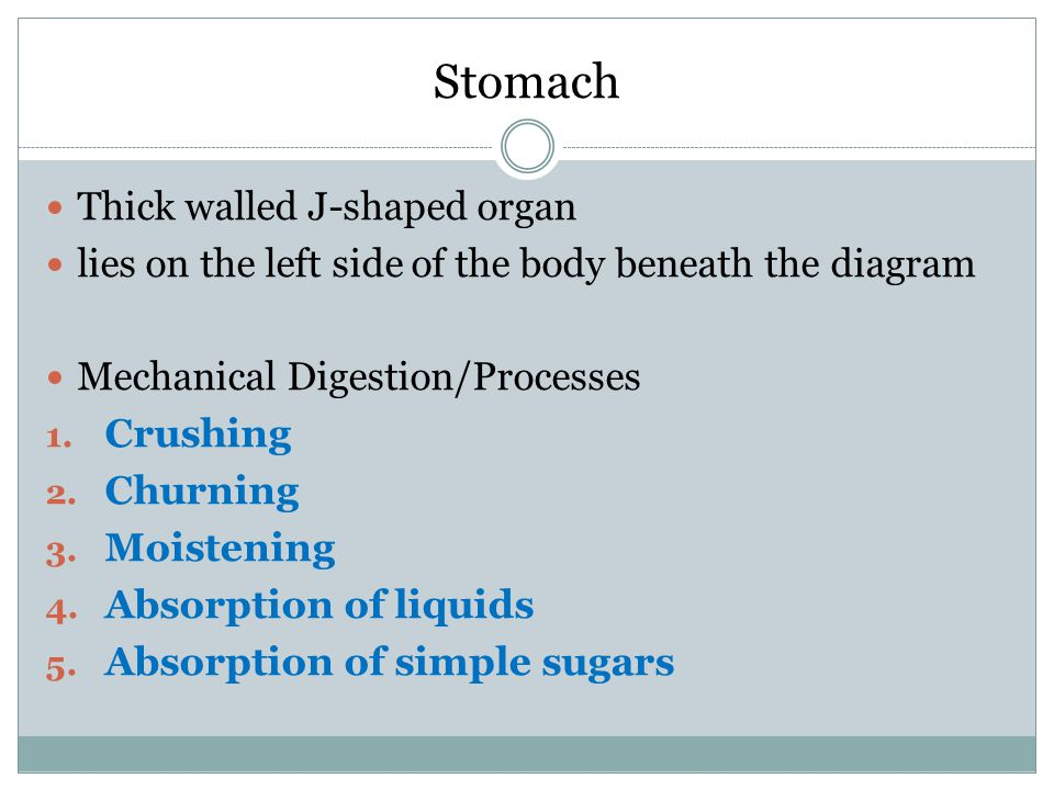 Stomach Thick walled J-shaped organ
