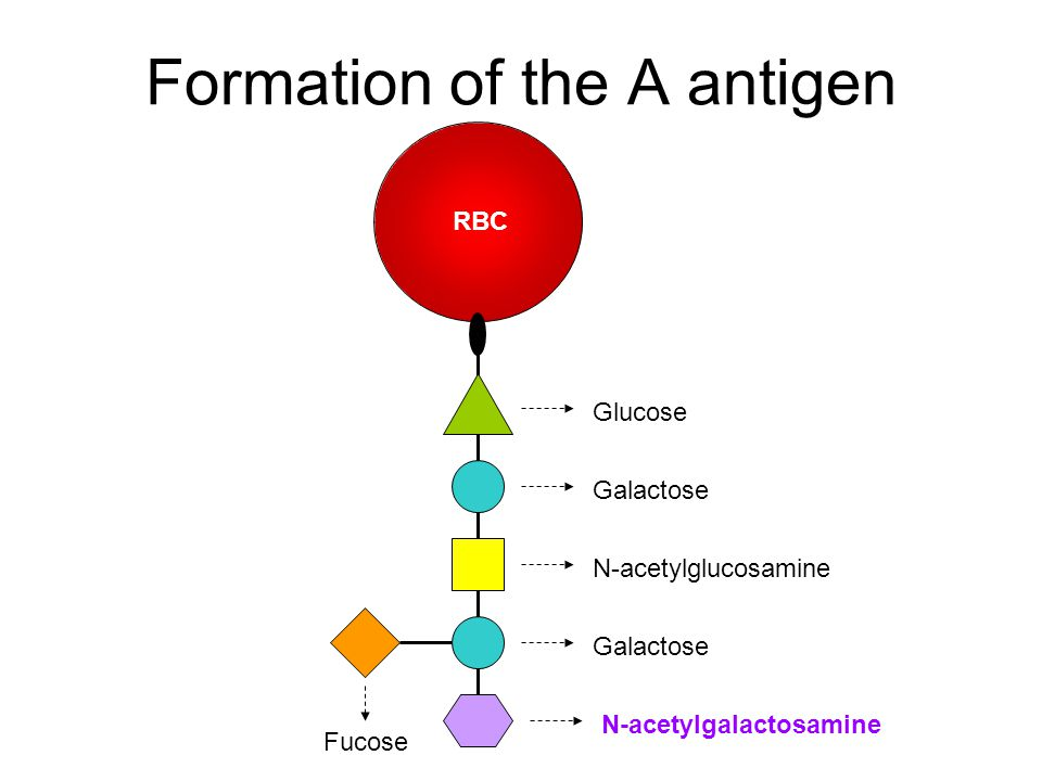 Formation of the A antigen