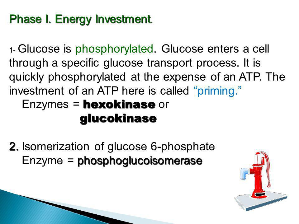 Phase I. Energy Investment. Enzymes = hexokinase or glucokinase