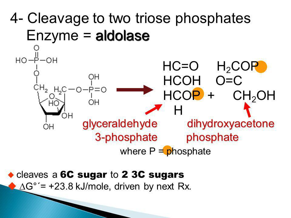 4- Cleavage to two triose phosphates Enzyme = aldolase