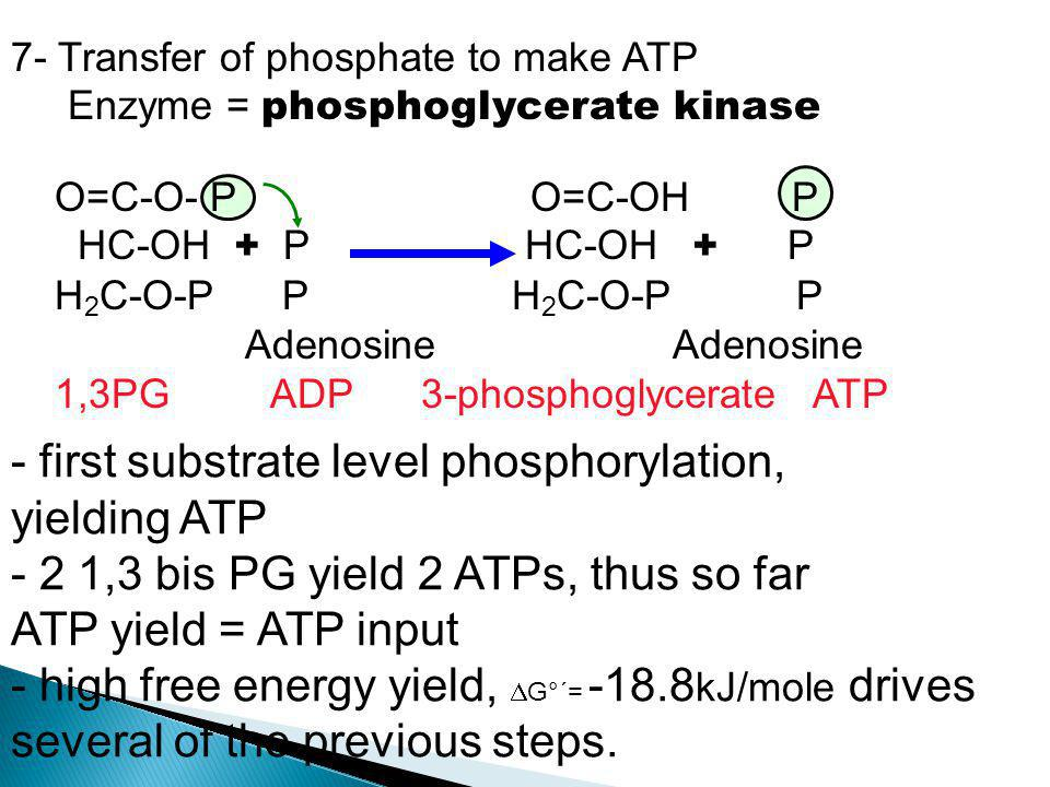 - first substrate level phosphorylation, yielding ATP