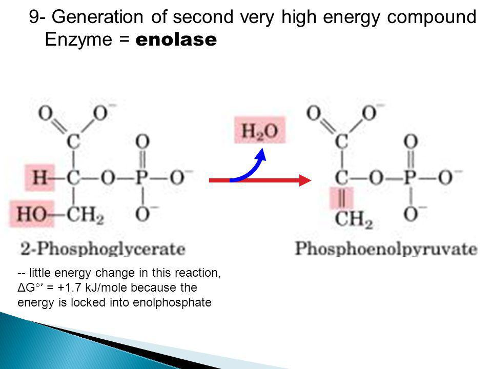 9- Generation of second very high energy compound Enzyme = enolase