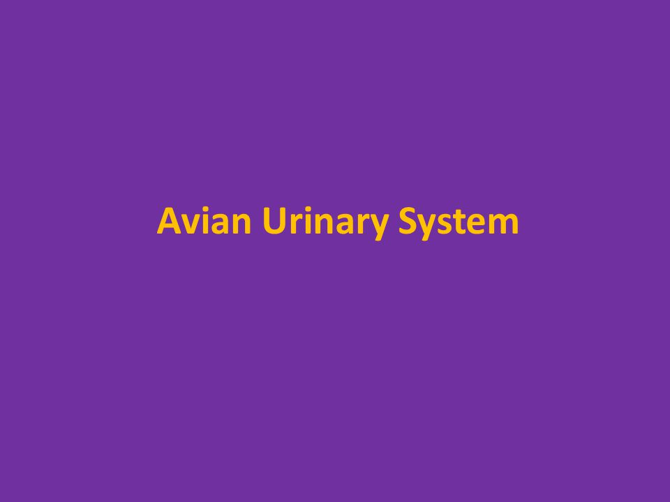 Avian Urinary System