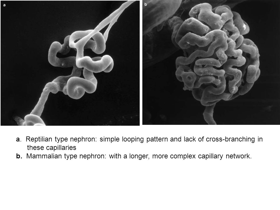 a. Reptilian type nephron: simple looping pattern and lack of cross-branching in these capillaries