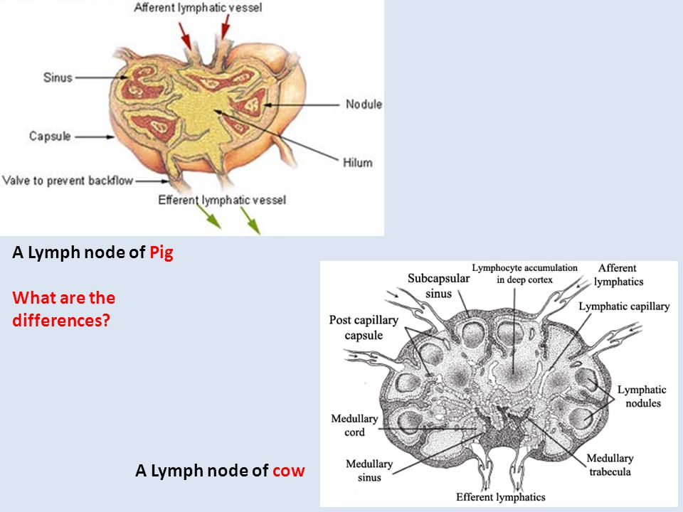 A Lymph node of Pig What are the differences A Lymph node of cow