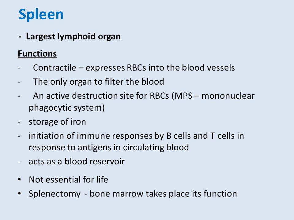 Spleen - Largest lymphoid organ