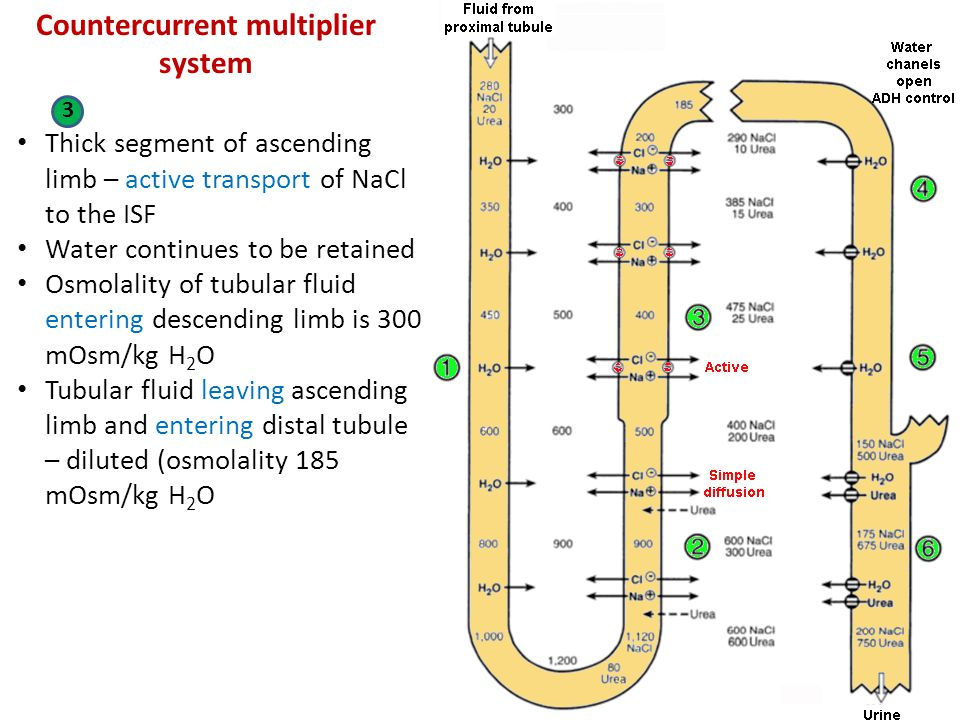 Countercurrent multiplier system