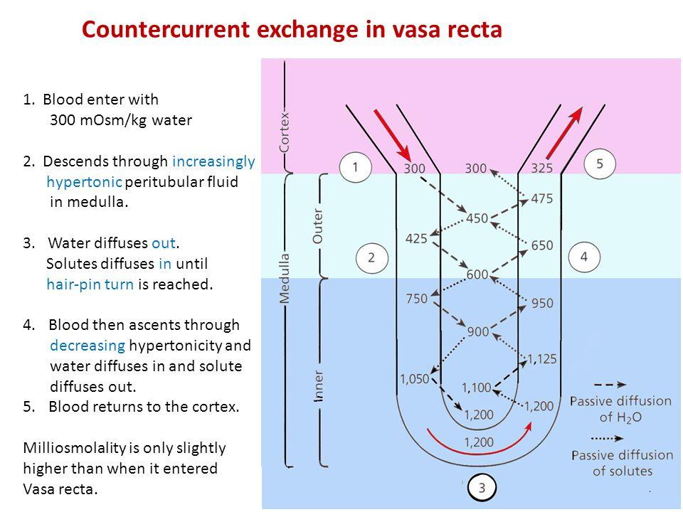 Countercurrent exchange in vasa recta