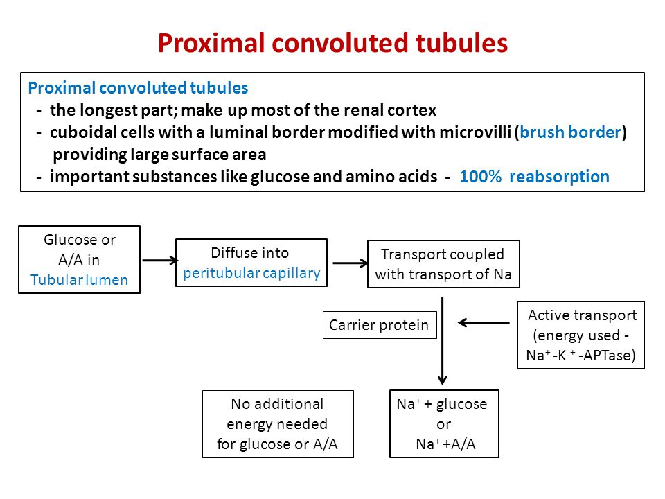 Proximal convoluted tubules