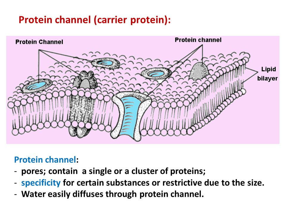 Protein channel (carrier protein):