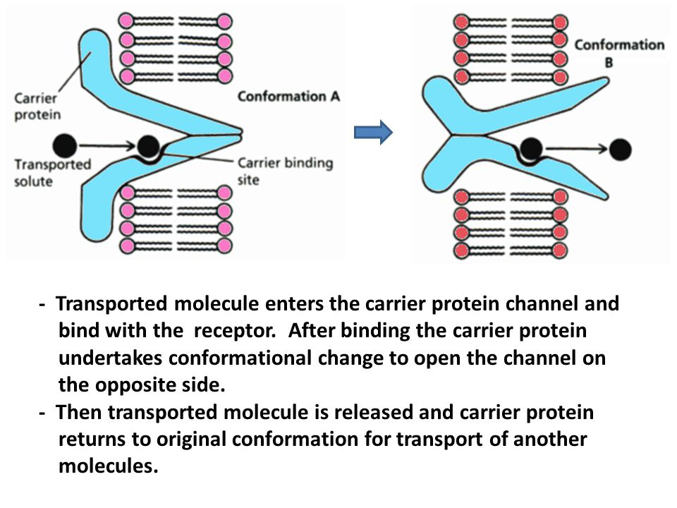 - Transported molecule enters the carrier protein channel and bind with the receptor. After binding the carrier protein undertakes conformational change to open the channel on the opposite side.