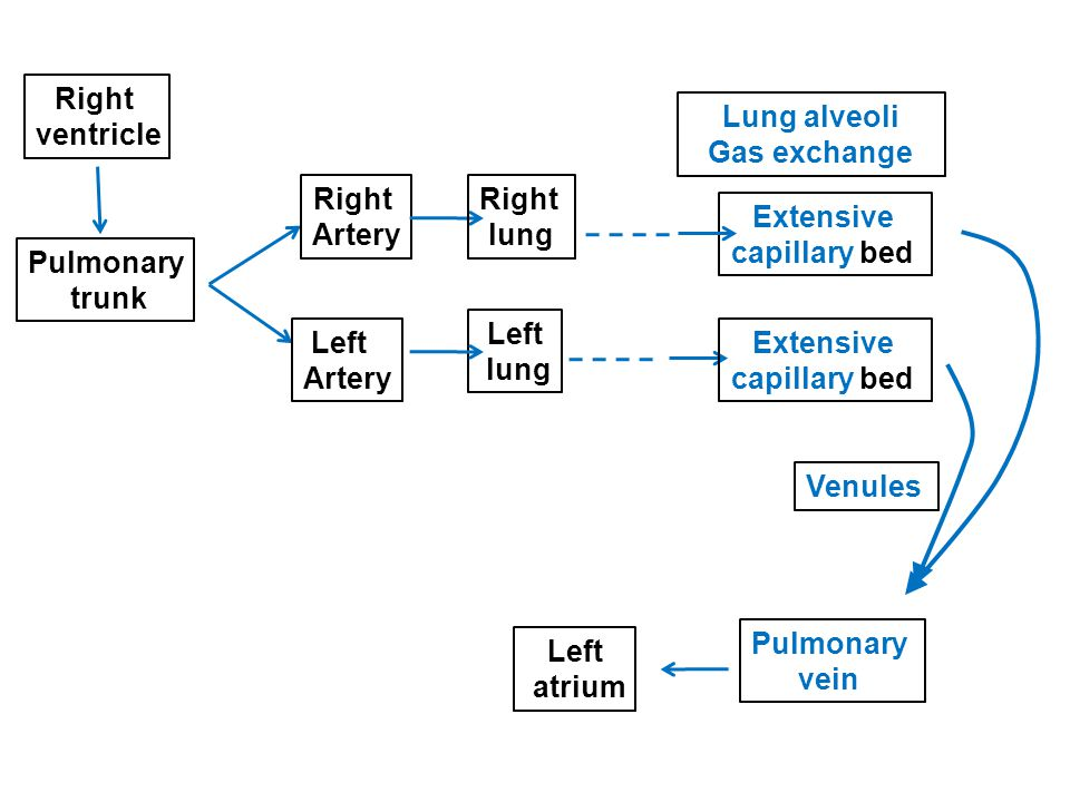 Right ventricle. Lung alveoli. Gas exchange. Right. Artery. Right. lung. Extensive. capillary bed.
