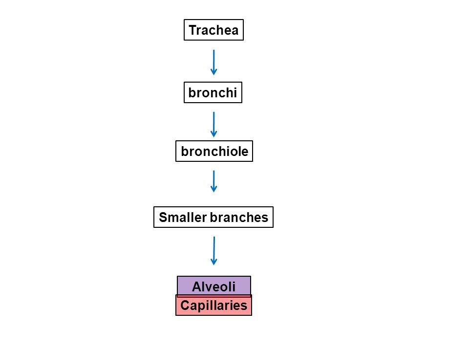 Trachea bronchi bronchiole Smaller branches Alveoli Capillaries