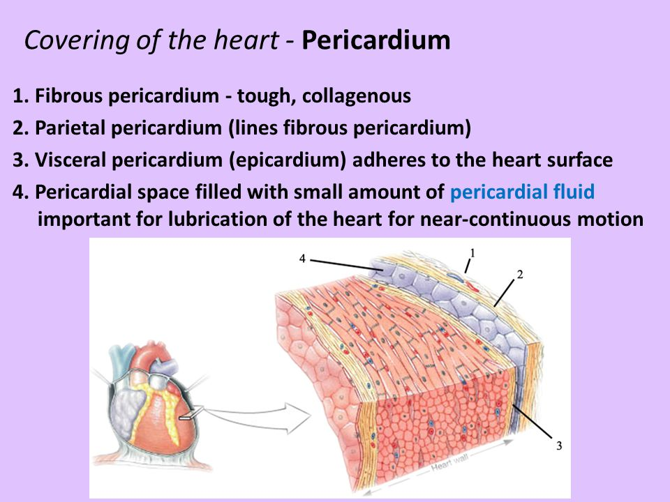 Covering of the heart - Pericardium