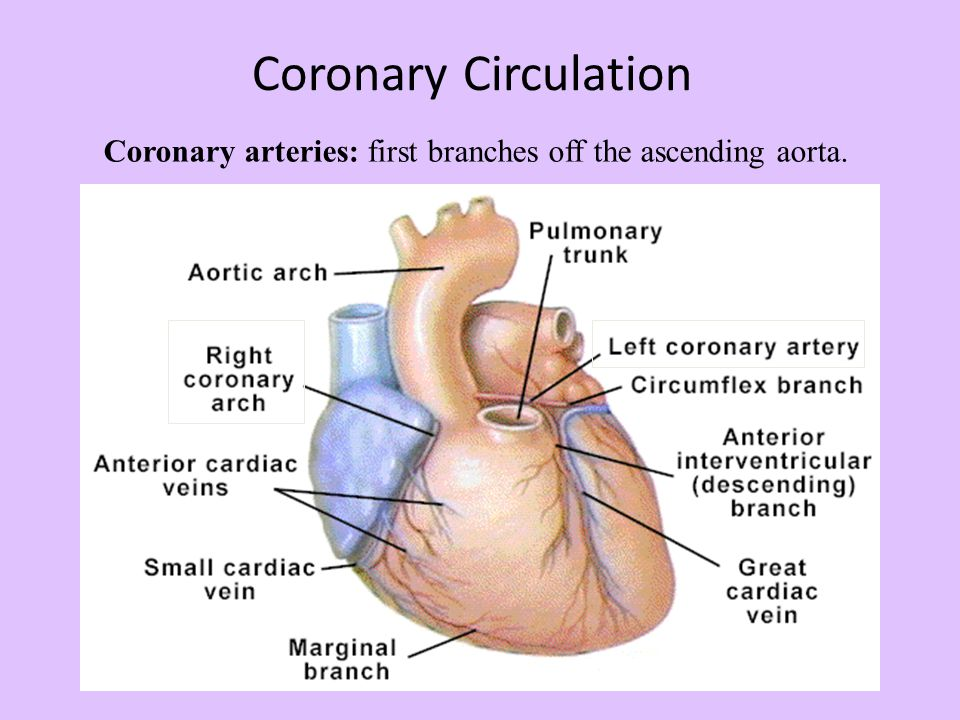 Coronary Circulation Coronary arteries: first branches off the ascending aorta.