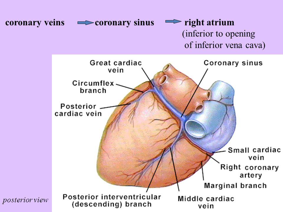 coronary veins coronary sinus right atrium (inferior to opening