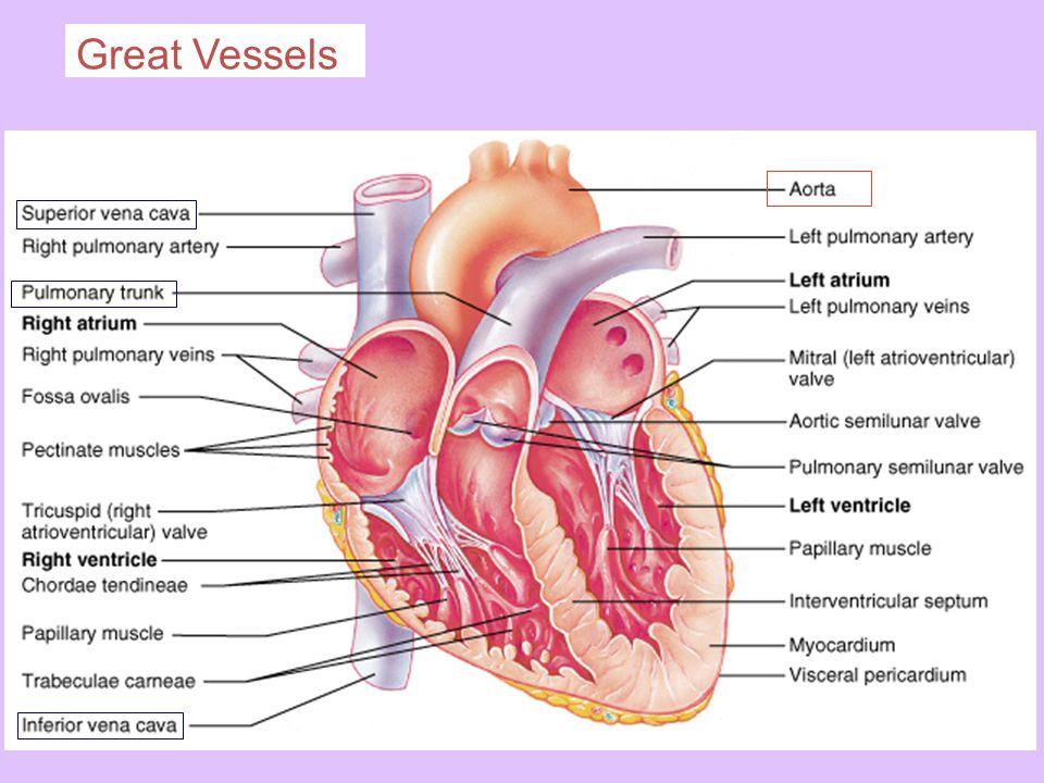 Great Vessels
