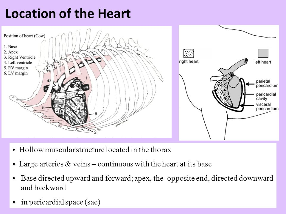 Location of the Heart Hollow muscular structure located in the thorax