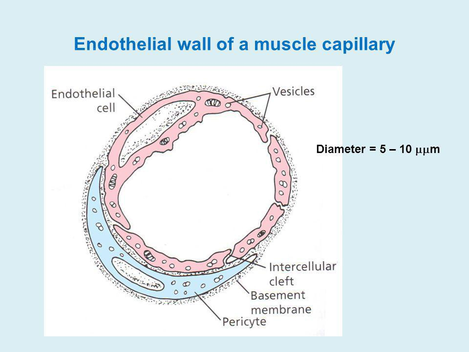 Endothelial wall of a muscle capillary