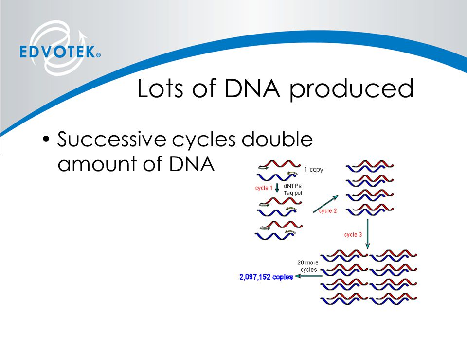 Lots of DNA produced Successive cycles double amount of DNA